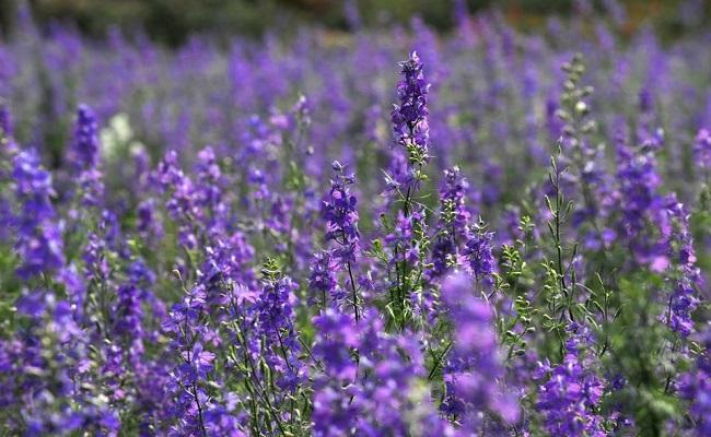 cách lấy nhân mụn bọc bị chai bằng hoa violet